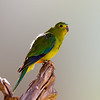 Orange-bellied Parrot (Neophema chrysogaster)