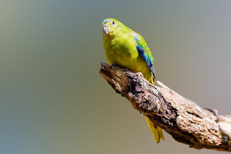 Orange-bellied Parrot (Neophema chrysogaster)