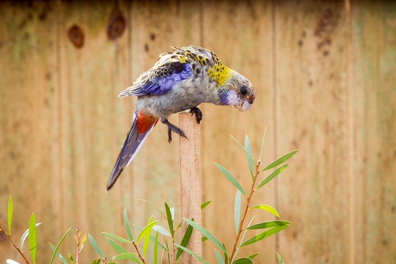 Pale-headed Rosella (Platycercus adscitus)