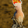 Major Mitchell`s Cockatoo, Lophochroa leadbeateri