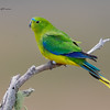 Orange-bellied Parrot, Neophema chryogaster