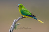 Orange Bellied Parrot ,