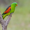 Red-Winged Parrot, Aprosmictus erythropterus