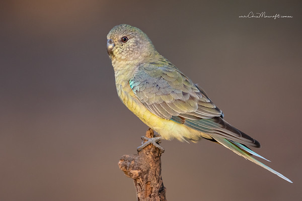 Red-rumped Parrot , Psephotus haematonotus ( Female )
