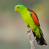 Red - Winged Parrot, Aprosmictus erythropterus