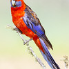Crimson Rosella - Male