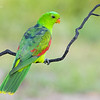 Red-Winged Parrot, Aprosmictus erythropterus.