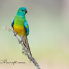Red Rumped Parrot - Psephotus haematonotus , Male