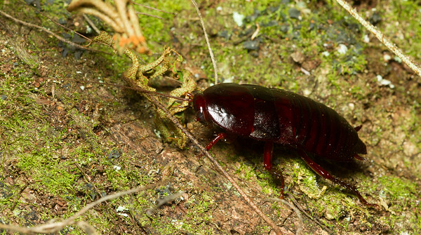 Florida woods roach, Eurycotis floridana, from the Timucuan Preserve in Jacksonville, Florida.