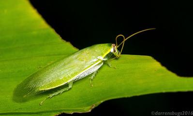 A Green Banana Cockroach, Panchlora nivea, preens her antennae in Panama.