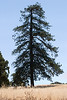 Sada's Pine, Henry W. Coe State Park, 2007-7-16