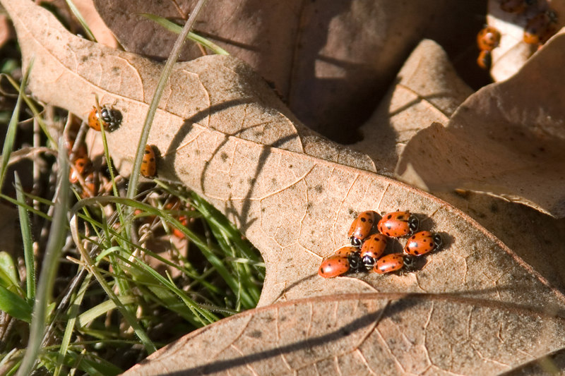Ladybird beetles, oak leaves, Poverty Flat, Jan. 9, 2007