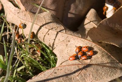 Beetles (Coe)
