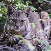 Bobcat-of-the-day-2017-0605-3
