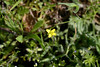 Tiny yellow flowers from Hunting Hollow Fish Pond single-track trail, 2012 April early
