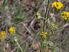 Senecio flaccidus var. douglasii, Alquist Trail, 2012-4-28.