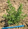 Blepharizonia-plumosa-viscida-CalPhotos-Akulova-1604