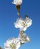 Blepharizonia-plumosa-CalPhotos-Kramer-1592