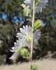 Blepharizonia-plumosa-CalPhotos-Kramer-1593