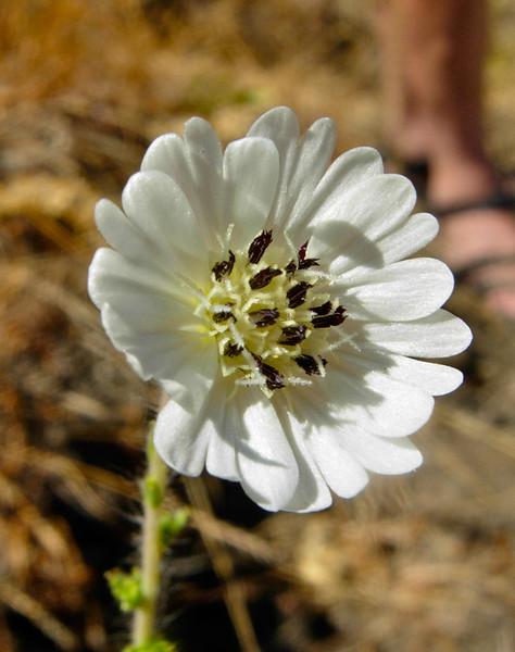 Blepharizonia plumosa. Nr. Corral Hollow.