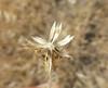 Blepharizonia-plumosa-CalPhotos-Akulova-2341