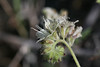 032713CommonPhacelia18