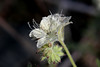 032713CommonPhacelia12