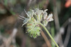 032713CommonPhacelia17