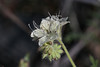 032713CommonPhacelia13