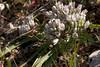 Allium cratericola, Crater Onion, Coe, Thomas Addition, 2007-04-12