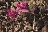 Allium facifollium, Sickleleaf Onion, Coe, Thomas Addition, 2007-04-12