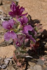 Streptanthus callistus, Coe, Thomas Addition, 2007-04-12, 2 exposures blended