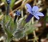 Allophyllum-gilioides-ssp -gilioides-Calphotos-Breckling-0554