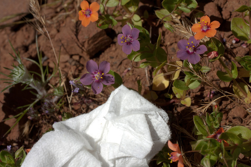 Anagalis arvensis, Primulaceae; Scarlet pimpernel. This site on Pacheco Ridge Trail had them in two different colors, growing together. (The white paper towel shows that there is no added color cast to distort flower color.)