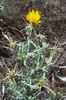 Centaurea-solstitalis-Calphotos-Rignanese-0835