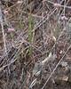 Chorizanthe membranacea, pink spineflower. Buckwheat family. Flat Frog Trail on open, rocky hillside.