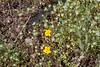 Eriastrum abramsii is an odd companion for seepspring monkeyflower. Pacheco Ridge Road during BCW.