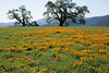 California poppy display April 2016 on Arnold Field, Manzanita Point Road near Ridge View Camp, Henry Coe State Park