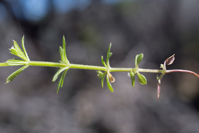 Galium parisiense, tentatively. Middle Ridge Trail north of Fish Trail, 3/17/2014. (Annual: note the seed leaves.)