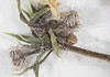 Galium parisiense, 2013/3/25, Hobbs Rd near 2680 ft contour line.