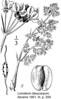 Lomatium-dasycarpum-Abrams