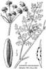 Lomatium-macrocarpum-Abrams-2A