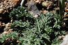 Lomatium-macrocarpum-CalPhotos-Monroe-2561
