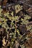 Mentzelia micrantha