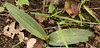 Piperia elongata, chaparral orchid, Forest Trail near the bench, March 30.