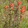 Castilleja affinis, Indian paintbrush; Coe Backcountry Weekend 2006