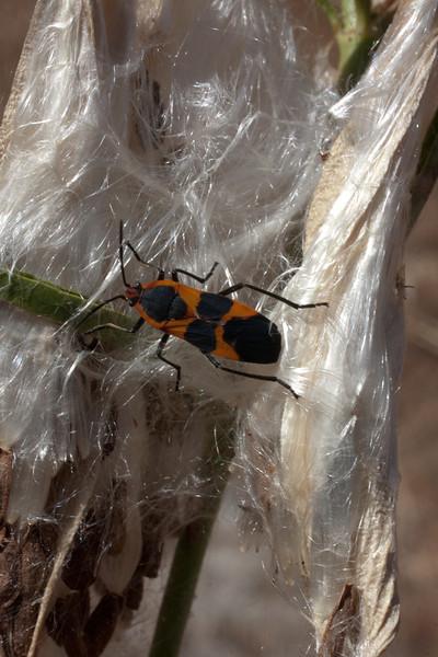 Narrow leaf milkweed, with milkweed beetle, in The Narrows.
