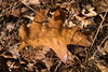 Brown Oak Leaf, Corral Trail
