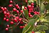Christmas Berry, berries