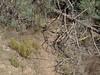 Gray pine snag down, E of Little Fork, 37.19482333,-121.53065500.